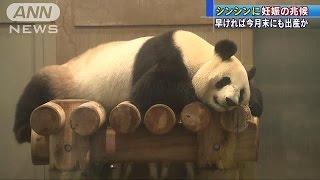 おめでた?偽妊娠?パンダのシンシン今日の様子は(17/05/19) thumbnail