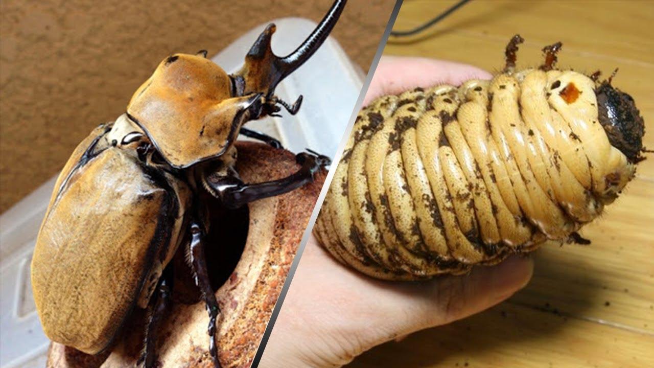 합성아님)진짜 손바닥만한 초대형곤충 키우는거 보여드릴게요.