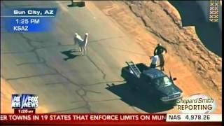 Llama Palooza - Black Llama Is Caught, White Llama Still On The Loose - Shepard Smith Reporting Pt 3