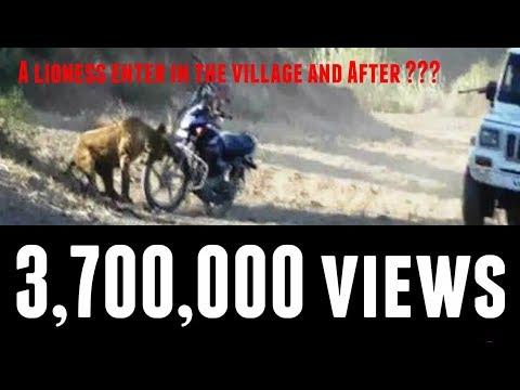 एक शेरनी ने गांव में घुसकर मचाया आतंक । A lioness entered in the village and raised terror