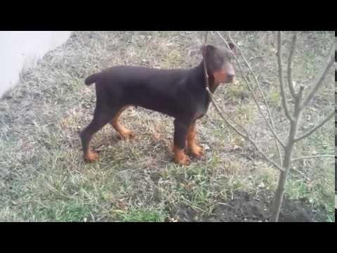 doberman puppy 3 months old jumping