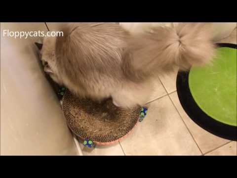 Cat Meows Like a Mouse - Ragdoll Cat Trigg Meowing for His Breakfast - Floppycats