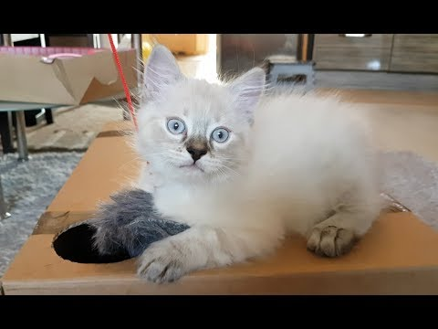 Ragdoll Cat Playing - Gato - Katze - Кот - Chat - Коте Регдол - 抹布貓 Camila Cabello - Havana
