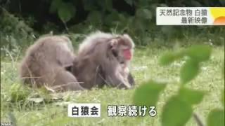 白猿の子どもが遊ぶ様子を撮影 山形 米沢