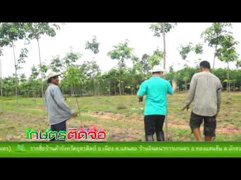 เกษตรติดจอ เคสยางพารา 2 ปี ตาเกลือ จ.บุรีรัมย์ เทป 2