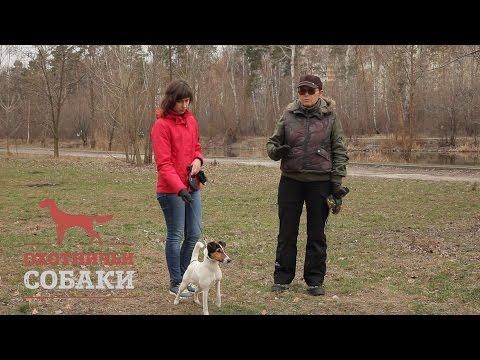 Охотничьи собаки. 17 серия. Гладкошёрстный фокстерьер