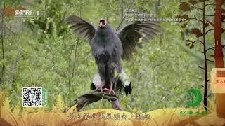 《秘境之眼》 蓝马鸡 20200112| CCTV