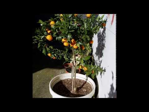 Домашний мандарин из косточки от А до Я