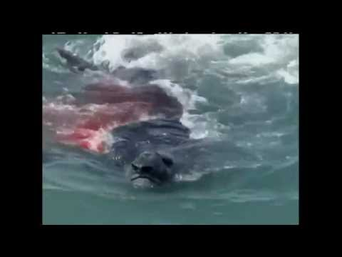 ORCA VS ELEFANTE MARINO - ELEPHANT SEAL VS ORCA