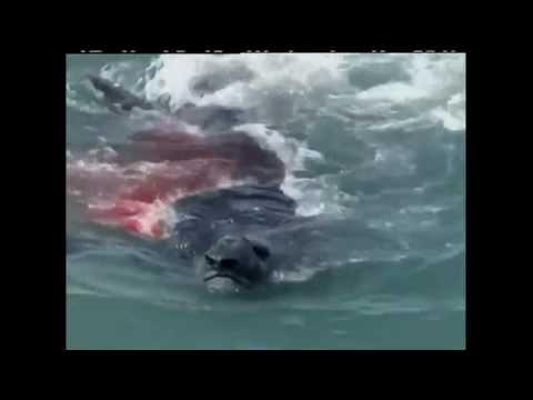 ORCA VS ELEFANTE MARINO - ELEPHANT SEAL VS ORCA