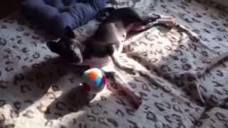 Басенджи. Игpы с мячиком. Funny Basenji. Tyra playing with a ball