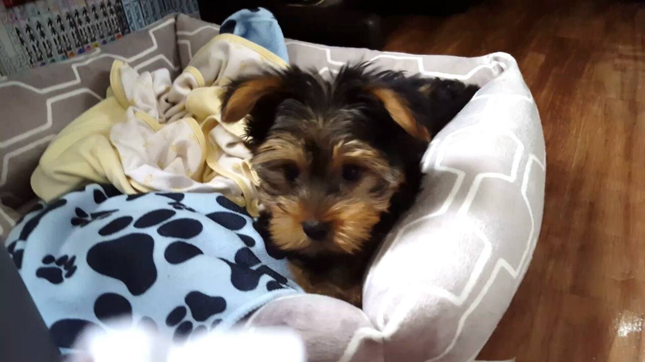 Trying To Catch My Yorkie Puppy Hd 12 Week Old Youtube