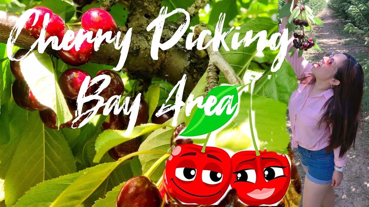 How To Properly Pick Cherry Fruit Nunn Better Farms Brentwood Ca Youtube