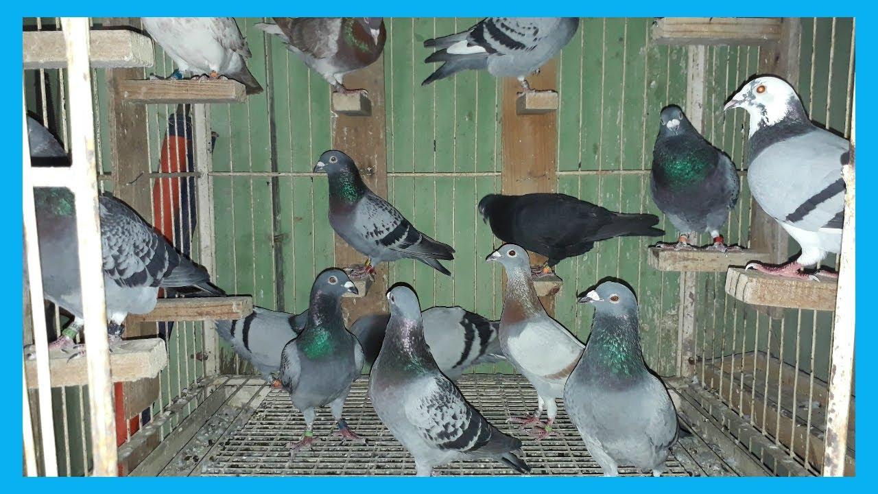 best racing homer pigeons breeding loft best breeding pigeon bd