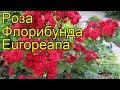 Роза флорибунда Европеана (Europeana). Краткий обзор, описание характеристик, где купить саженцы