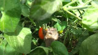 Two garden mice eating a tomato