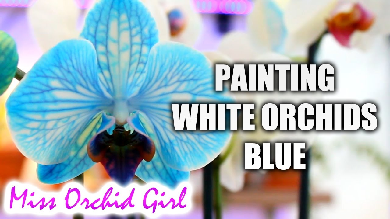 Diy Blue Orchid How Blue Phalaenopsis Orchids Are Made Youtube
