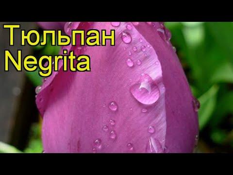 Тюльпан фостера Негрита. Краткий обзор, описание характеристик, где купить луковицы Negrita