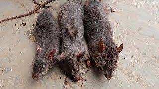 ĂN THỊT CHUỘT (Eat rat meat) ✦ Hoa Ban Tây Bắc
