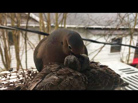 DoveCam Day 12 Highlight: Changing of the Guard & Feeding