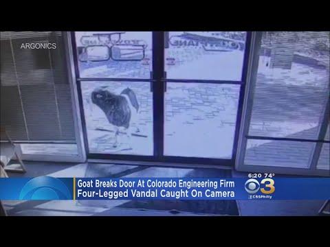 Goat Caught On Camera Smashing Business Window