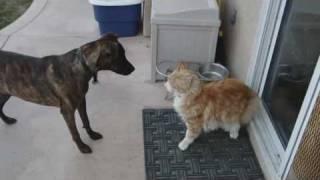 Tolerant Maine Coon cat