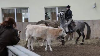 Rinderarbeit Working Equitation Kuh 1