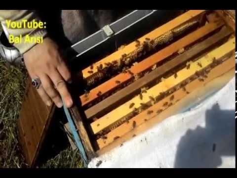 Boz Qafqaz cinsi bal arısı - Boz Kafkas arısı - Grey Caucas Bee - Кавказский пчела