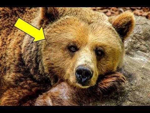 Раненый медведь пришёл