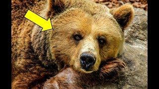 Раненый медведь пришёл к дому лесника, и ревел во весь голос, в надежде на помощь