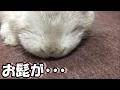 [うさぎ] 可愛い 子うさぎ お髭が・・・ (Rabbit)