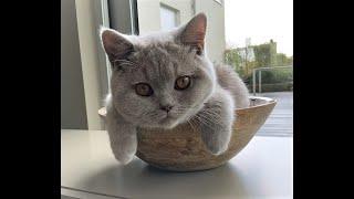 Cute British Shorthair Cat Videos Compilation  British Shorthair Cats Review  Cute Cat Videos