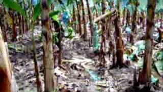 Fertilizantes Biologicos en Platano Fungicol