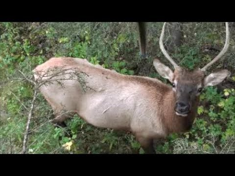 TheDraw -The 1 Yard Spiker bull elk! - YouTube