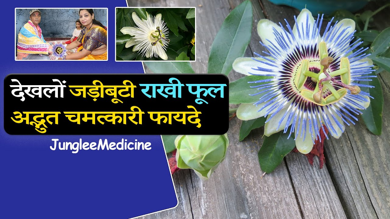 अद्भुत जड़ीबूटी Rakhi Bel / कृष्ण कमल के अनेक चमत्कारी औसधीय फायदे और पहचान /Passion Flower