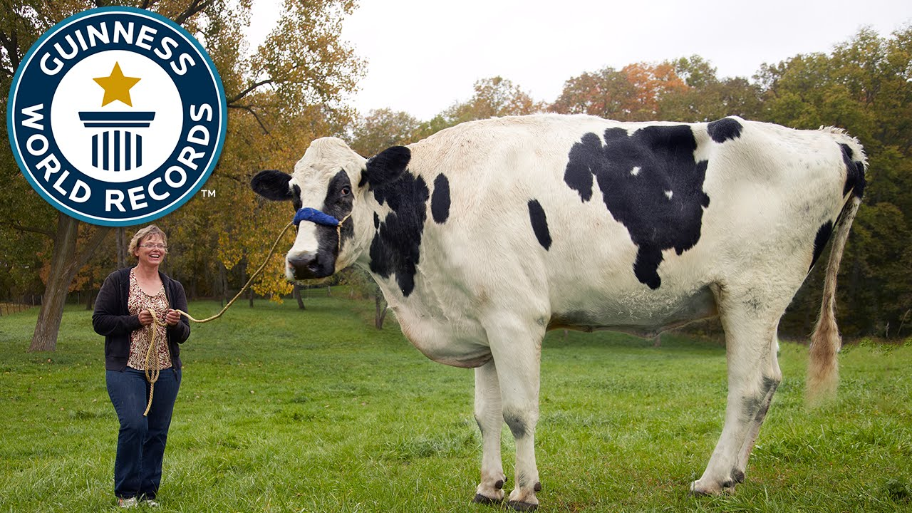 The world's tallest cow dies after a lifetime of Photoshop
