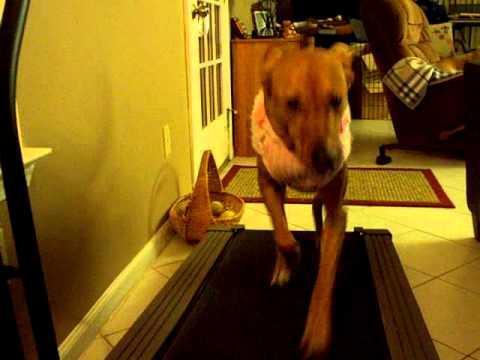 Fast Dog on Treadmill