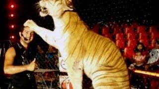 Tigre mata a su domador durante una función de circo/ Tigres de bengala mata a su domador