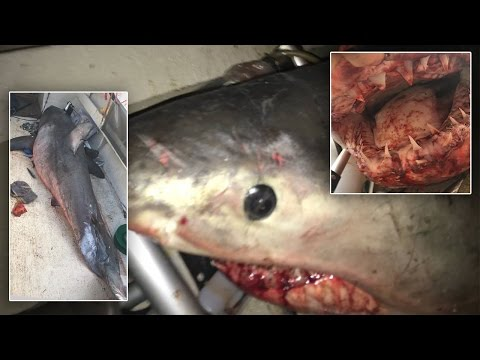 Thumbnail: 73-Year-Old Man Survives After 9-Foot-Long Great White Shark Jumps Onto His Boat