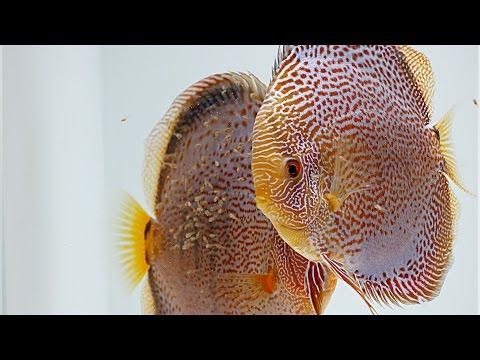 Diskusfische Züchten - Wachstumsrate Nach Einem Monat