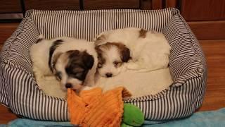 Coton de Tulear Puppies For Sale 1/21/20