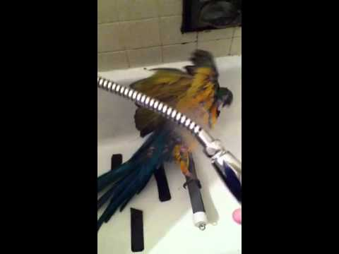 Showering macaw