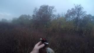 Охота на фазана охота с Дратхааром из под стойки