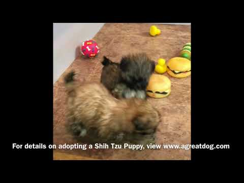 Female Shih Tzu Puppies