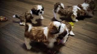 Шесть прекрасных щенка породы Ши-тцу ищут дом