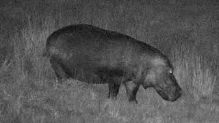 Djuma Private Game Reserve Live Stream: Hippo leaves for the night