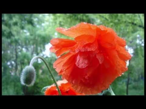Как цветут маки и лилии?