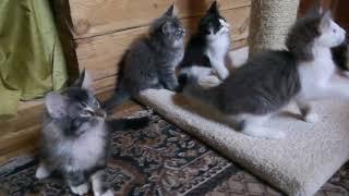 Норвежские лесные котята