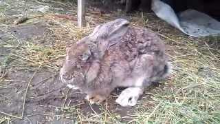 Міксоматоз у кроля(Миксоматоз кроликов – острая вирусная болезнь. К заболеванию восприимчивы все домашние и дикие кролики...., 2014-09-22T11:32:35.000Z)