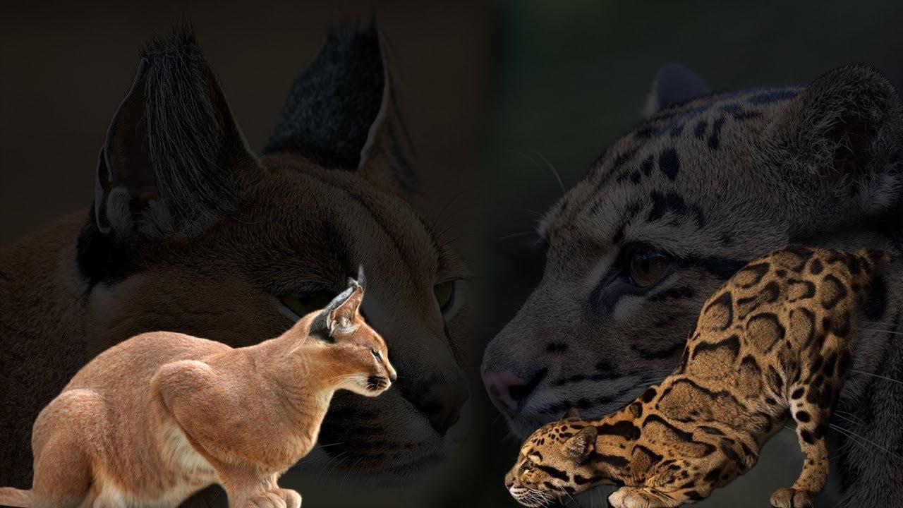 Macan Dahan vs Caracal | Mari Kita Bandingkan!